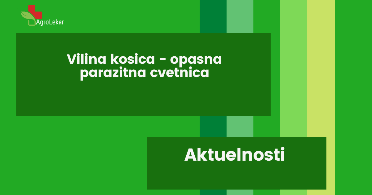 Read more about the article VILINA KOSICA – OPASNA PARAZITNA CVETNICA