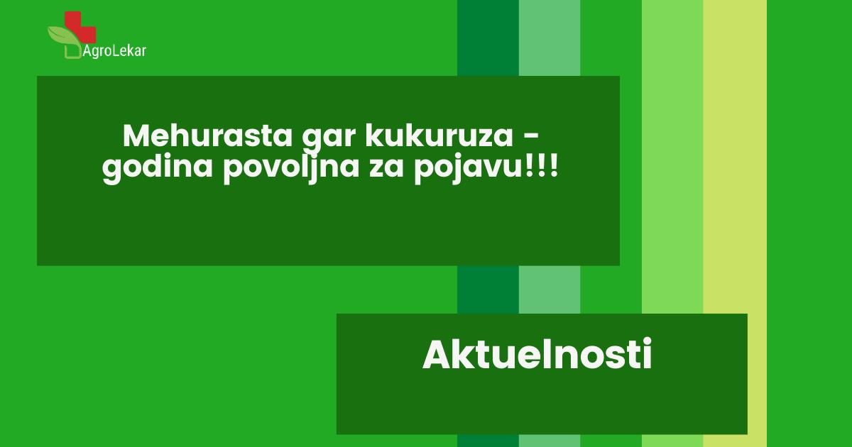 Read more about the article MEHURASTA GAR KUKURUZA – GODINA POVOLJNA ZA POJAVU!!!