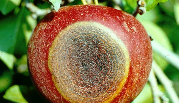 Simptomi gorke truleži jabuke