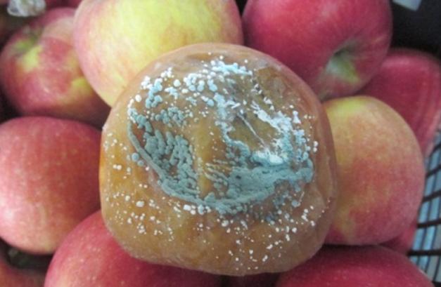 Simptomi plave trulež jabuke