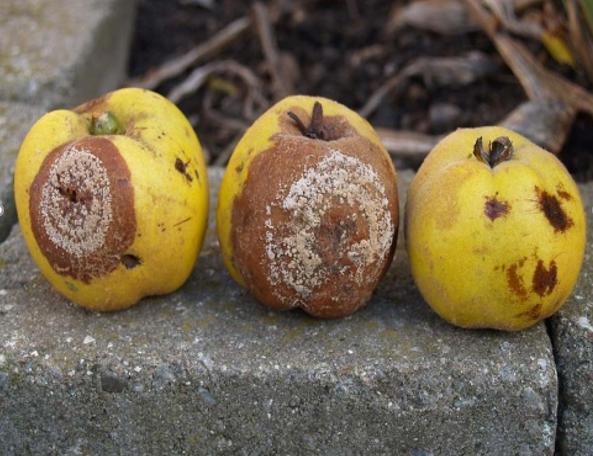 Simptomi smeđe truleži jabuke