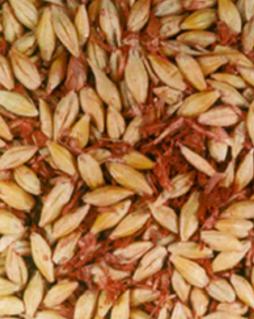 Improvizovana dorada-Loše očišćeno seme - Tretirano fungicidom